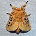 Black-waved Flannel Moth - Hodges#4644 - Megalopyge crispata - male