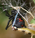 Obviously Black Widow, but which one?? - Latrodectus mactans - female