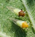 Treehopper? - Calophya triozomima