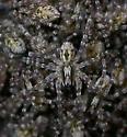 Hogna carolinensis - male - female