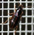 Carabidae - Stenolophus ochropezus
