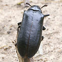 Rather Large Beetle For ID - Sandalus niger - female