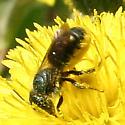Bee ID Request - Osmia - female
