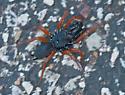 Redlegged Purseweb Spider - Sphodros rufipes