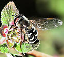 A black and yellow hoverfly, with more black than yellow - Eupeodes volucris - female