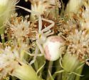 Thomisidae, Goldenrod Crab Spider - Misumena vatia