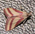 Pink (or red) & White Striped moth ID - Microtheoris vibicalis