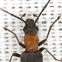 False Blister Beetle - Oxycopis thoracica