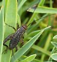 Striped Ground Cricket? - Allonemobius - male