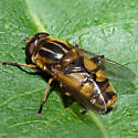 Drone Fly?? - Helophilus hybridus - male