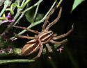 large Lycosidae - Rabidosa rabida