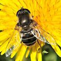 Syrphid Fly (Eristalis dimidiata) - Eristalis dimidiata - female
