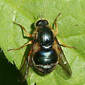 Small-headed Fly - Eulonchus tristis