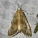 Elophila gyralis - female