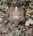 Euschistus - Euschistus variolarius - male