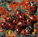 Harmonia species? - Hippodamia caseyi