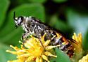 Large hymenopteran - Campsomeris tolteca