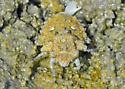Toad bug shots with helpful shadows providing some contrast - Gelastocoris oculatus