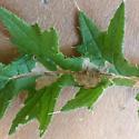 Bull thistle leaf miner - Scrobipalpa acuminatella
