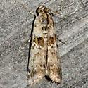 Sugarbeet Crown Borer Moth? - Ancylosis undulatella
