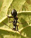 Ant?? - Alydus