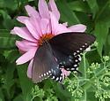 Eastern Swallowtail - Papilio troilus - female