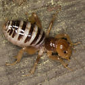 Jerusalem cricket from montane southern Sierra Nevada - Stenopelmatus