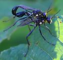 Mating Insects - Eremnophila aureonotata - male - female