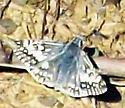 Common checkered skipper - Pyrgus communis - male