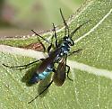 Turquoise Wasp - Evagetes