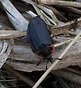 carrion beetles - Oiceoptoma noveboracense