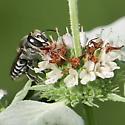 Megachile species? - Megachile - female