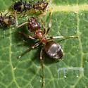Ant tending aphids - Lasius