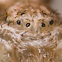 Philodromus?  - Philodromus dispar