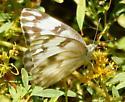 Pieridae - Pontia protodice - female