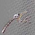 fly - Leptogaster