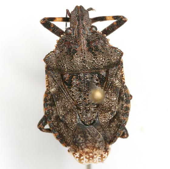 Brochymena chelonoides Ruckes - Brochymena chelonoides