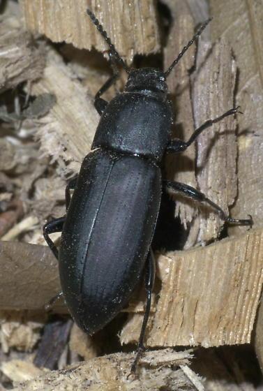 Black, non-shiny beetle - Centronopus opacus