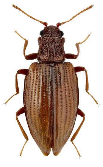 Stephostethus lardarius