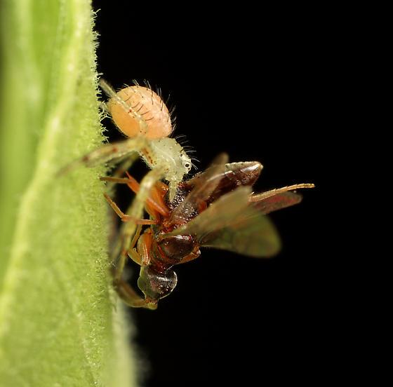 Wasp ID - Ampulichomorpha confusa