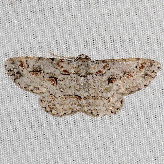 Large Purplish Gray Moth - Iridopsis defectaria