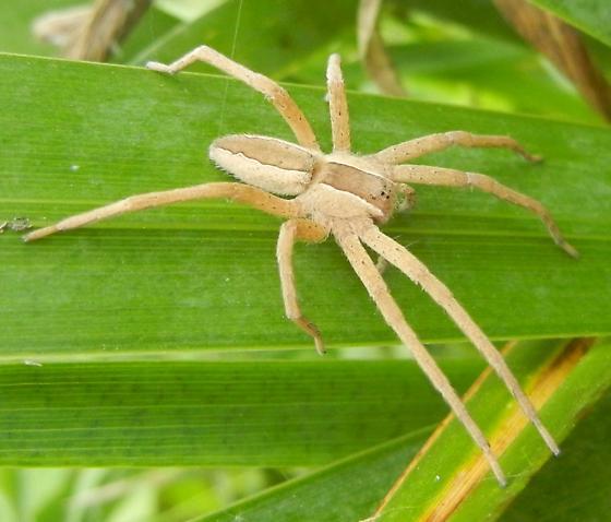 Spider and eggs - Pisaurina mira