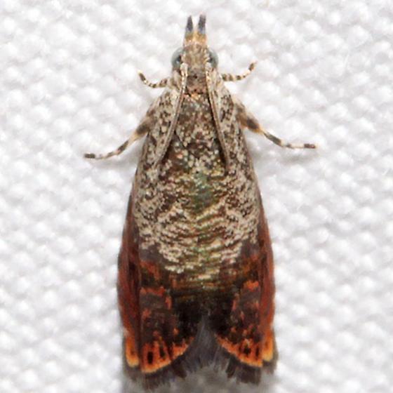 Talponia plummeriana