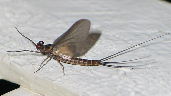 dark brown mayfly - Leptophlebia