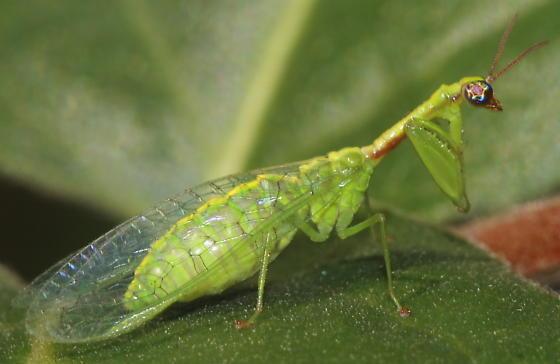 Mantisfly - Zeugomantispa minuta