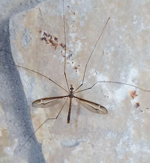 Crane fly? - Tipula
