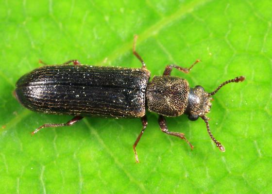 Southern Lyctus Beetle - Lyctus carbonarius