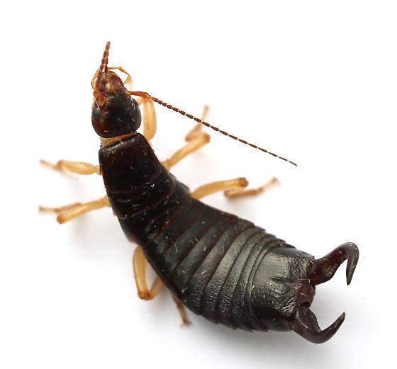 Anisolabis maritima - male