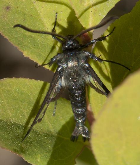 Jet black Sesiid - Albuna pyramidalis