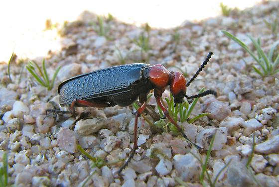 Soldier Beetle - Lytta magister